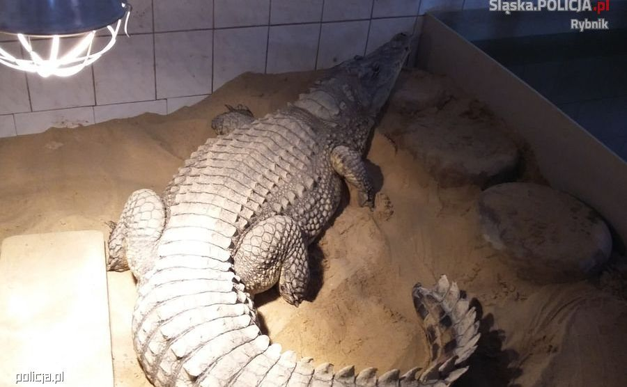 Krokodyl z nielegalnej hodowli