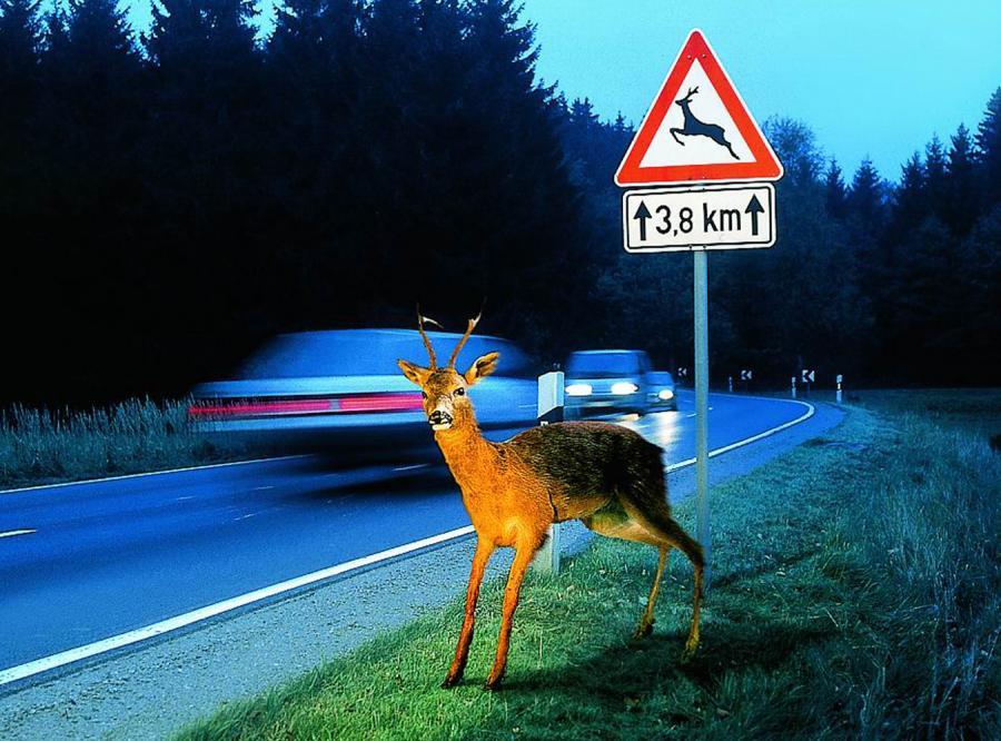 Wypadek z dzikiem? Zobacz, jak nie zostać jeleniem