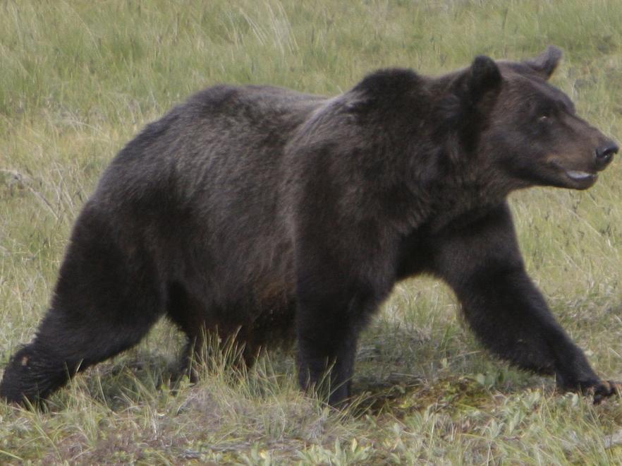 http://3.s.dziennik.pl/pliki/2193000/2193315-grizzly-882-660.jpg