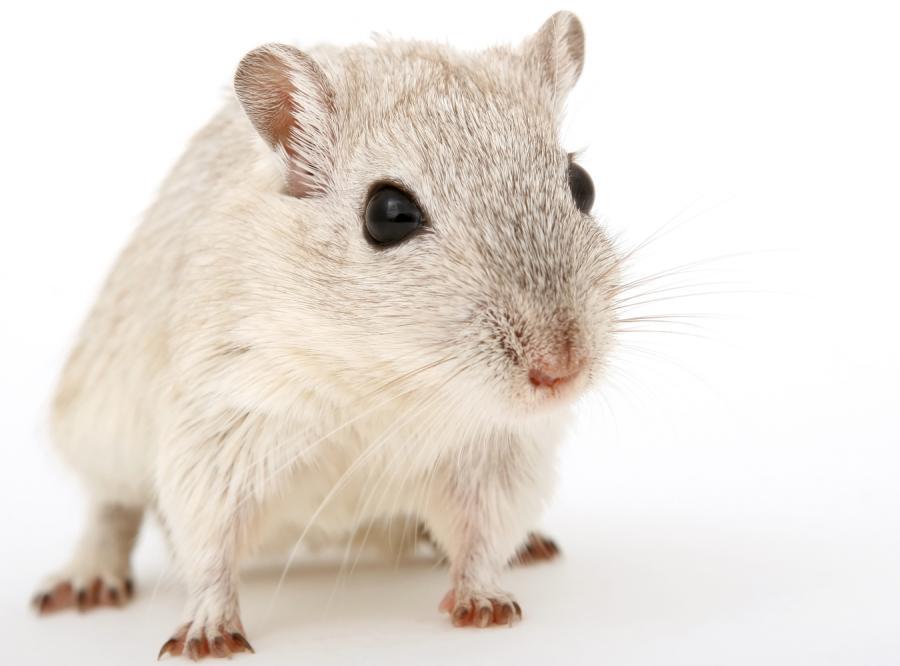 Ludzki i mysi nos lubią to samo